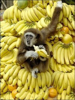 monkey-eat-bananas